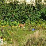 Rehbock im Kleingarten